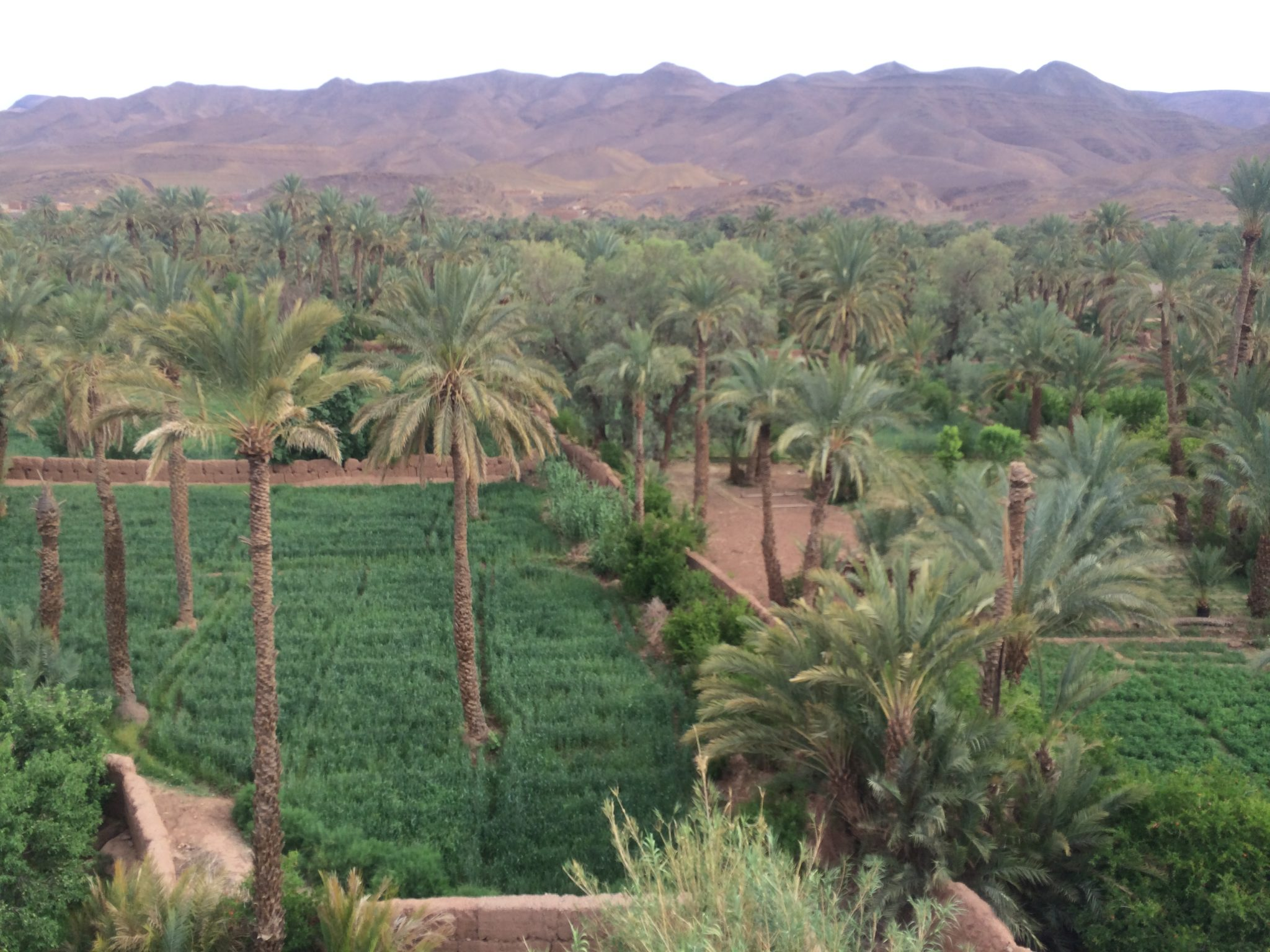 Dra Valley, Morocco; Lush green palm groves and wheat against backdrop of mountains