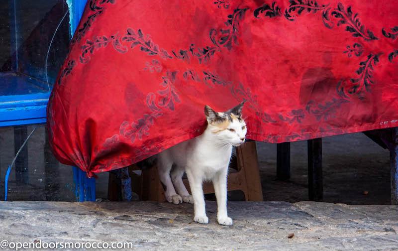 Chafchaouen Cat 1