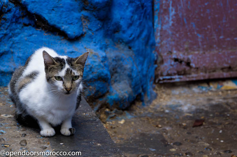 Cats of Chefchaouen 9
