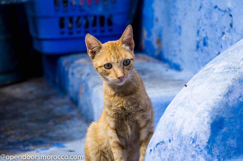 Cats of Chefchaouen 2
