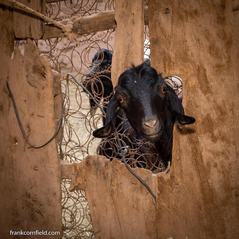 goat in kasbah